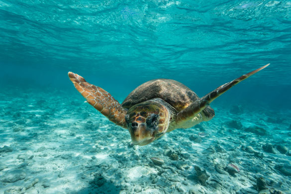 exciting-things-belize-2-Loggerhead-sea-turtle-Caretta-caretta