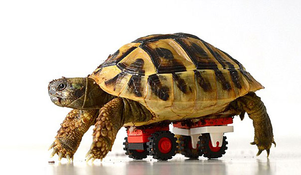 Tortoise Story 2: Blade The Disabled Tortoise Gets New Lego Wheels